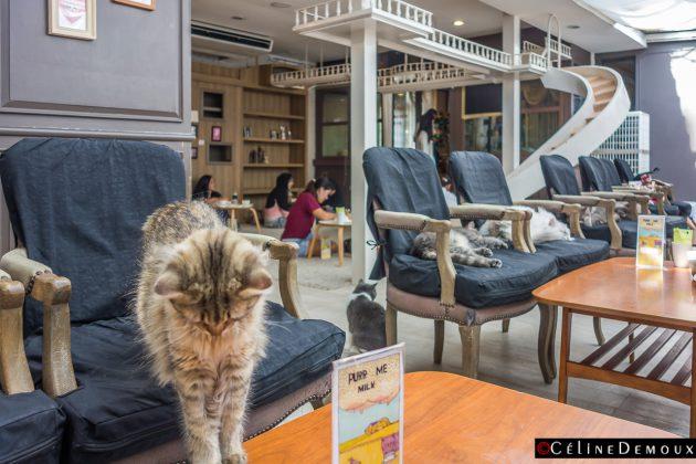 purr cat caf club le purrfect bar chats de bangkok silencio. Black Bedroom Furniture Sets. Home Design Ideas